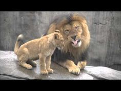 Heartwarming footage of the moment a papa lion meets his baby cubs for the first time at the Oregon Zoo