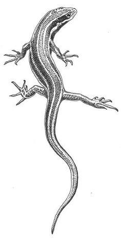 Western skink (Plestiodon skiltonianus)