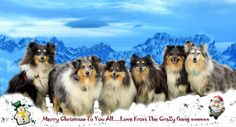 https://flic.kr/p/Cu6cvK | Merry Christmas Sheltie style |  Don't ask me How…..But you have Shelties in the Teton Mountains for Christmas Eve….As they thought it would make a great backdrop for Christmas……And I have to agree with them….…..They have all promised to be back before night fall…..So they are going to have to get a move on…..But don't worry….They always come to my whistle ….And maybe if you whistle too…..It might help to hurry them on a bit…..Thanks dear reader….It really has…