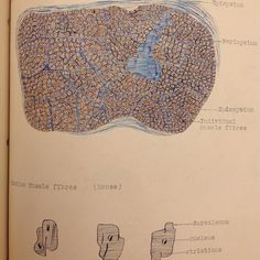 Students notes or adult coloring book? These hand colored images are from a @tjuhospital student's notes. They show the cross section of a striated muscle from a cat (top) and the cardiac muscle fibers of a mouse (bottom). #archives #medschool #coloring #ColorOurCollections #cat #mouse by jeffarchives