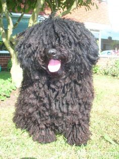 """That is not a dog. He is a Puli."""
