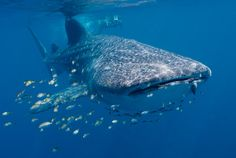 Whale shark females are usually larger than males. This is true for most other sharks, and for baleen whales, another type of animal that is large but eats small organisms