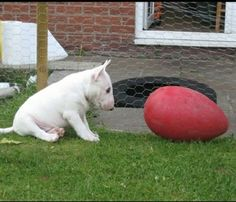 Bull Terrier Puppy and Egg. What a cute ball of pudge. Mini Bull Terriers, Miniature Bull Terrier, Bull Terrier Puppy, English Bull Terriers, Beautiful Dogs, Animals Beautiful, Cute Animals, I Love Dogs, Cute Dogs