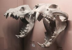 Striped Hyena and Leopard skulls, at the Horniman Museum with specios