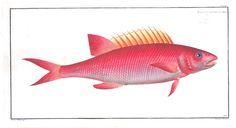 Animal - Fish - Redfish
