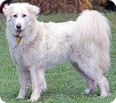 Beacon, NY - Great Pyrenees Mix. Meet Trixie in MA, a dog for adoption. http://www.adoptapet.com/pet/12168519-beacon-new-york-great-pyrenees-mix