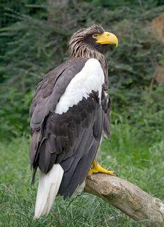 Steller's Sea Eagle Eagle Images, Eagle Pictures, Bird Pictures, Owl Bird, Pet Birds, Nocturne, Rapace Diurne, Steller's Sea Eagle, Tier Fotos
