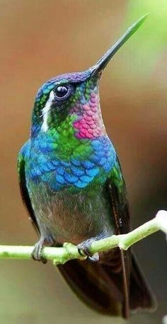 Beautiful iridescent-throated hummingbird. #birds #nature #color