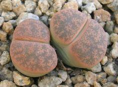 Lithops lesliei ssp. lesliei v. minor 'Witblom' C006A