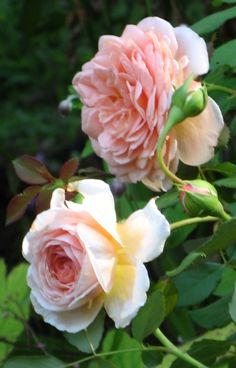 39 abraham darby 39 rose photo for my backyard pinterest. Black Bedroom Furniture Sets. Home Design Ideas