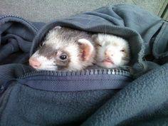ferret snuggle