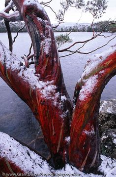 Snow Gum, Mt Field National Park - I know this exact tree!