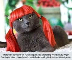 Another kitty in wig.  Just never gets old.  lol
