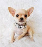 Chihuahua | Puppies for Sale