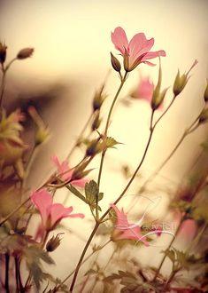 Vintage Life by ~Lady-Tori on deviantART Vintage Flowers, Pink Flowers, Beautiful Flowers, Simply Beautiful, Flower Wallpaper, Nature Wallpaper, Mobile Wallpaper, Nature Landscape, Amazing Nature