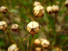 Leinöl- Kapseln Dandelion, Flowers, Plants, Nature, Dandelions, Florals, Plant, Flower, Bloemen