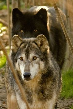 Wolves-Awesome!! <3 <3 <3 <3