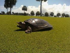 I met a friend on Melbourne Beach golf course in June 2010