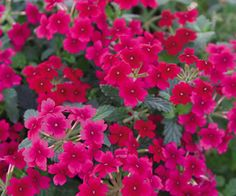 raspberry annual flowers | http://www.easybloom.com/plantlibrary/plant/verbena-66