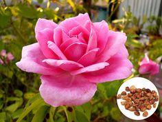20 Rare Pink Rose Fresh Seeds Exotic Pink Rose Flower Home