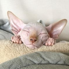 Cats sphynx kitten 26 New Ideas Puppies And Kitties, Cute Kittens, Cats And Kittens, Baby Animals, Funny Animals, Cute Animals, Arctic Animals, Chat Rex, I Love Cats