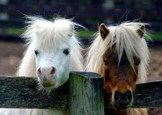Cute ponies, we need to get over there, where the grass looks greener. Cute ponies, we need to get over there, where the grass looks greener. Pretty Horses, Horse Love, Beautiful Horses, Animals Beautiful, Poney Miniature, Miniature Ponies, Cute Funny Animals, Cute Baby Animals, Animals And Pets