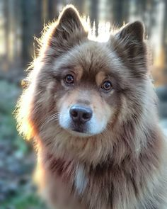 A beautiful Keeshond dog--just look at those golden eyes! Keeshonds have excellent temperaments, are very good around children, and have even been used as seeing eye dogs ☺