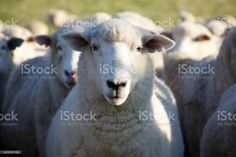 Sheep in Field Close-up of Sheep in an agricultural field. Agricultural Field Stock Photo Feature Film, Photo Illustration, Image Now, Agriculture, Royalty Free Images, Close Up, Sheep, Stock Photos, Animals