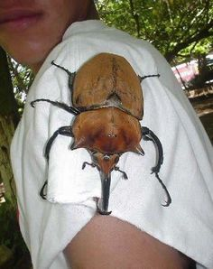 Giant Goliath Beetle found in the jungles of South America, the titan beetle is second only to the Hercules beetle and can grow up to 6.5 inches.