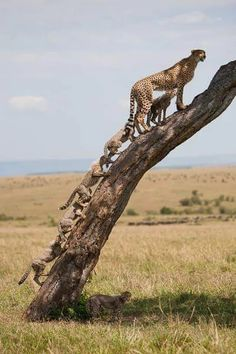 cheetah lookout with row of cubs climbing tree | wild animals | uldissprogis