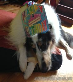 harlequin blue merle rough collie dog, Huxley, celebrates his 2nd birthday in style