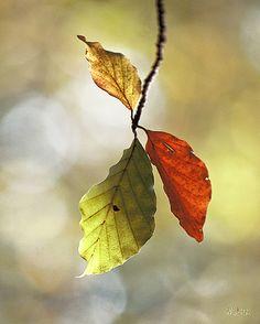 Hojas de haya en otoño / Autumn leaves.
