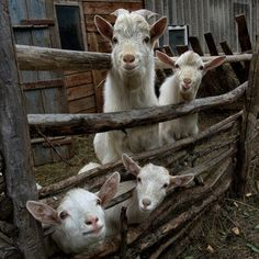 What a crew Little Goats:) (via Козлятушки…ребятушки… - Nina - LensArt. Cabras Saanen, Beautiful Creatures, Animals Beautiful, Animals And Pets, Cute Animals, Cute Goats, Barnyard Animals, Goat Farming, Baby Goats