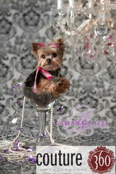 """Couture 360's mascot Martini is a teacup Yorkie...We think she is a """"tini"""" Yorkie.  She fits just so perfect in our Martini Glass.  Sounds like she chose her name!!!  Tini Martini!"""