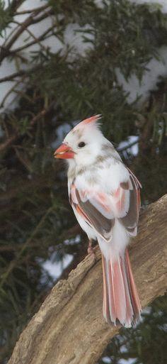 So pretty! Red cardinal albino. Cardinal rouge. (Cardinalis cardinalis).