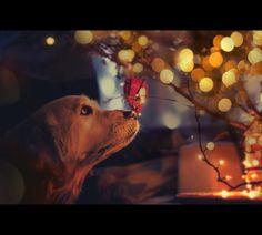 Christmas by Annikki, via Super cute golden retriever making sure the christmas lights are alright :) Winter Christmas, Christmas Lights, Christmas Holidays, Merry Christmas, Christmas Puppy, Christmas Scenes, Christmas Things, Christmas Cards, Merry And Bright