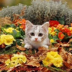 Kitten among primrose flowers