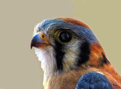 American Kestrel (Amerikaanse torenvalk)