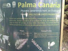 "Palmera (Palma canaria) ""Phoenix canariensis hort. ex Chabaud"""