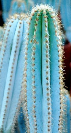 Pilosocereus pachycladus Ritter. This is my favorite cactus!! . The bluish green is fab!