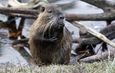 A nutria comptemplates the hows, whys, and wherefores as how he came to live in South Louisiana