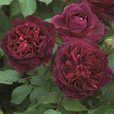 "Munstead Wood (Ausbernard) - Winner of the ""Most Fragrant"" rose at the 2014 Biltmore International Rose Trials! #DavidAustin #GardenRoses"