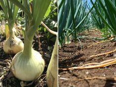 Nem véletlenül alakult ki ez a gyakorlat a kertészek körében. Onion, Garlic, Vegetables, Gardening, Onions, Lawn And Garden, Vegetable Recipes, Veggies, Horticulture