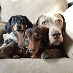 Yes??.... Harlow the Weimaraner and friends