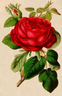 Antique red rose print