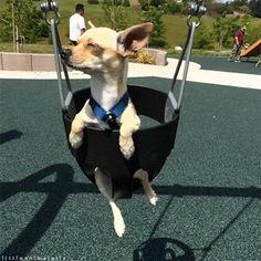 Los Chihuahuas son perros originarios de México, pero se han popularizado en todo el mundo. Su tamaño y su peculiar personalidad los ha convertido en el perro predilecto de muchos. Hoy te damos 31 razones para creer que son los perros con más estilo sobre la faz de la Tierra. 1.Ningún otro perro se ve […]