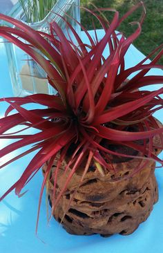 Welcome To Beach Paradise Air Plants Where You Can Find Numerous Tropical Tillandsia That Are Beautiful And Easy Care For Indoors Or Out