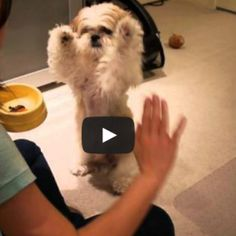 Shih Tzu Clicker Training OMG so cute when he goes up with his paws up