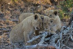 """""""Snuggling Lion Cubs"""" by Bob Roper: Here are three snuggling lion cubs in South Africa at the Simbambili Private Game Lodge."""