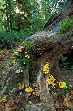 Mushrooms and mosses on tree trunk, Hoh Rainforest, Hall of Mosses Trail, Olympic National Park, Washington. Travel photography and photos of the natural landscape by Greg Vaughn Theme Nature, Nature Aesthetic, Aesthetic Boy, Aesthetic Clothes, Natural World, Amazing Nature, Mother Earth, Nature Photography, Travel Photography